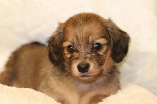 ミニチュアダックスフンド(ロング)の子犬(ID:1268511023)の2枚目の写真/更新日:2018-02-11
