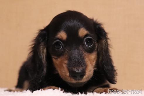 ミニチュアダックスフンド(ロング)の子犬(ID:1268511024)の2枚目の写真/更新日:2018-02-15