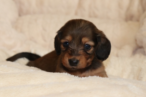 カニンヘンダックスフンド(ロング)の子犬(ID:1268511025)の1枚目の写真/更新日:2018-02-15