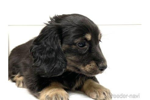 カニンヘンダックスフンド(ロング)の子犬(ID:1268511026)の2枚目の写真/更新日:2018-02-15