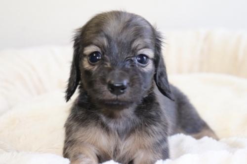 ミニチュアダックスフンド(ロング)の子犬(ID:1268511027)の1枚目の写真/更新日:2018-02-15