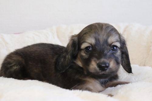ミニチュアダックスフンド(ロング)の子犬(ID:1268511028)の1枚目の写真/更新日:2018-02-15