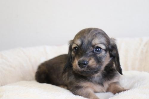 ミニチュアダックスフンド(ロング)の子犬(ID:1268511028)の2枚目の写真/更新日:2018-02-15