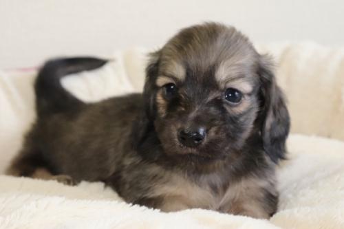 ミニチュアダックスフンド(ロング)の子犬(ID:1268511029)の1枚目の写真/更新日:2018-02-15