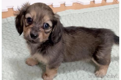 ミニチュアダックスフンド(ロング)の子犬(ID:1268511030)の2枚目の写真/更新日:2018-04-20