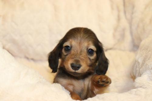 ミニチュアダックスフンド(ロング)の子犬(ID:1268511031)の1枚目の写真/更新日:2018-04-20