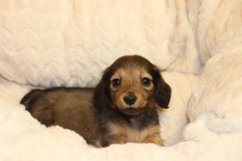 ミニチュアダックスフンド(ロング)の子犬(ID:1268511031)の2枚目の写真/更新日:2018-04-20