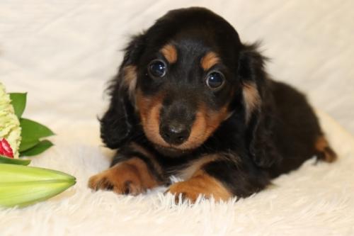 ミニチュアダックスフンド(ロング)の子犬(ID:1268511032)の1枚目の写真/更新日:2018-06-10
