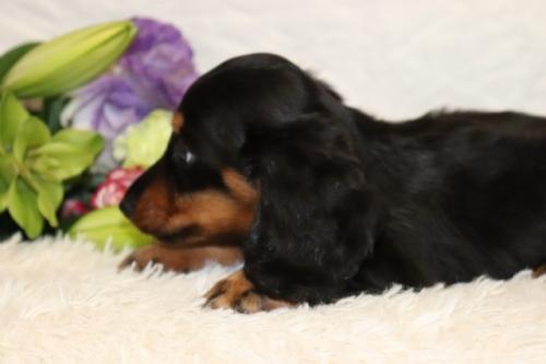 ミニチュアダックスフンド(ロング)の子犬(ID:1268511032)の3枚目の写真/更新日:2018-06-10