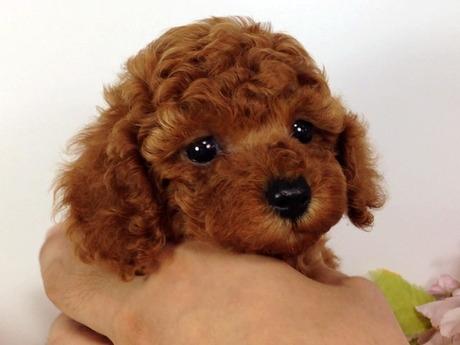 トイプードルの子犬(ID:1269011001)の1枚目の写真/更新日:2017-07-14