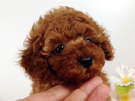 トイプードルの子犬(ID:1269011002)の1枚目の写真/更新日:2017-07-14