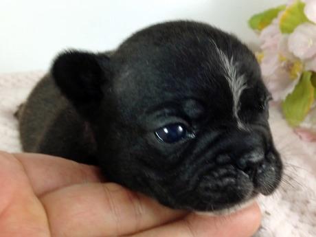 フレンチブルドッグの子犬(ID:1269011003)の1枚目の写真/更新日:2017-07-14