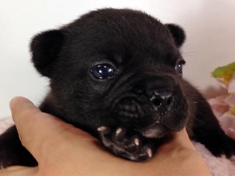 フレンチブルドッグの子犬(ID:1269011005)の1枚目の写真/更新日:2017-07-14