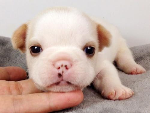 フレンチブルドッグの子犬(ID:1269011006)の1枚目の写真/更新日:2017-09-08