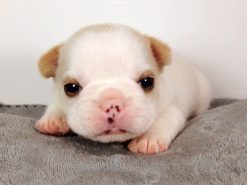 フレンチブルドッグの子犬(ID:1269011006)の2枚目の写真/更新日:2017-09-08