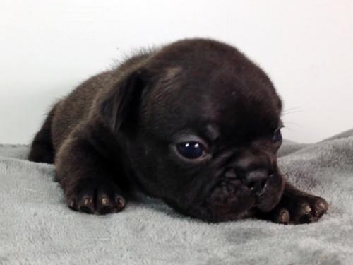 フレンチブルドッグの子犬(ID:1269011007)の2枚目の写真/更新日:2017-09-08