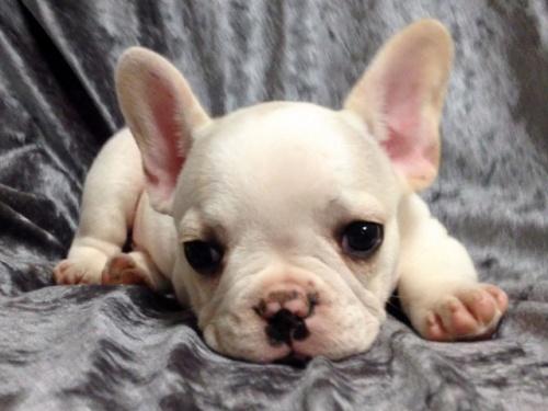 フレンチブルドッグの子犬(ID:1269011008)の1枚目の写真/更新日:2017-09-22