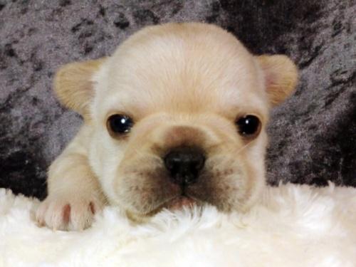 フレンチブルドッグの子犬(ID:1269011009)の1枚目の写真/更新日:2017-10-16