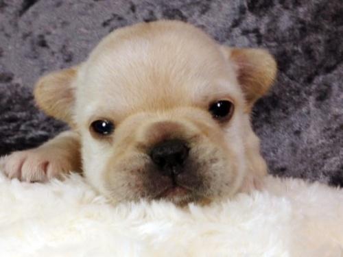 フレンチブルドッグの子犬(ID:1269011009)の2枚目の写真/更新日:2017-10-16