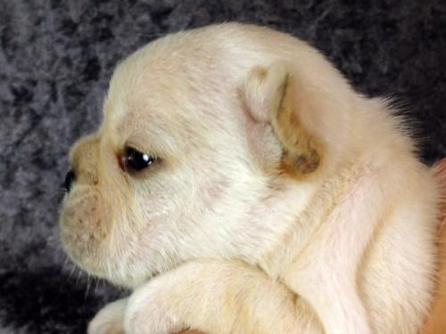 フレンチブルドッグの子犬(ID:1269011009)の3枚目の写真/更新日:2017-10-16