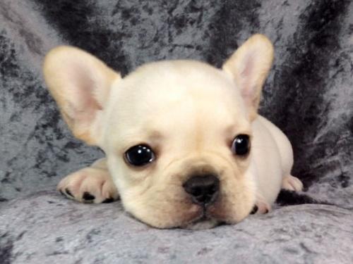 フレンチブルドッグの子犬(ID:1269011010)の1枚目の写真/更新日:2017-11-09