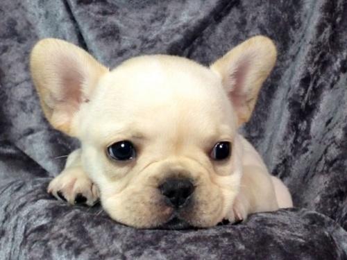 フレンチブルドッグの子犬(ID:1269011010)の2枚目の写真/更新日:2017-11-09