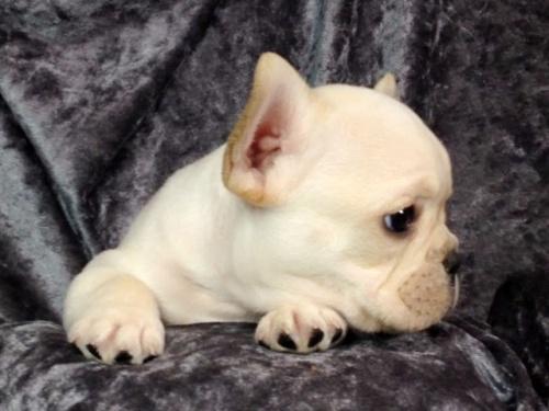 フレンチブルドッグの子犬(ID:1269011010)の3枚目の写真/更新日:2017-11-09