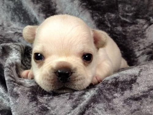 フレンチブルドッグの子犬(ID:1269011011)の2枚目の写真/更新日:2017-10-16