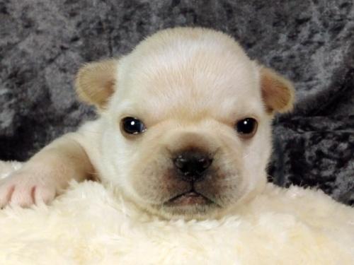 フレンチブルドッグの子犬(ID:1269011012)の1枚目の写真/更新日:2017-10-16