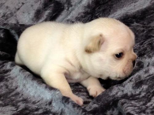 フレンチブルドッグの子犬(ID:1269011012)の2枚目の写真/更新日:2017-10-16