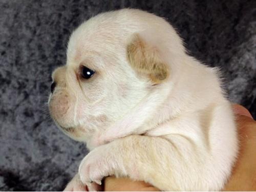 フレンチブルドッグの子犬(ID:1269011012)の3枚目の写真/更新日:2017-10-16