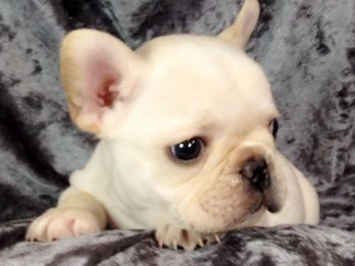 フレンチブルドッグの子犬(ID:1269011013)の1枚目の写真/更新日:2017-11-09