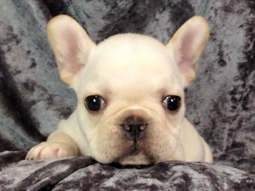 フレンチブルドッグの子犬(ID:1269011013)の2枚目の写真/更新日:2017-11-09
