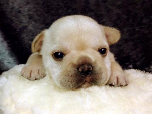 フレンチブルドッグの子犬(ID:1269011014)の1枚目の写真/更新日:2017-10-16
