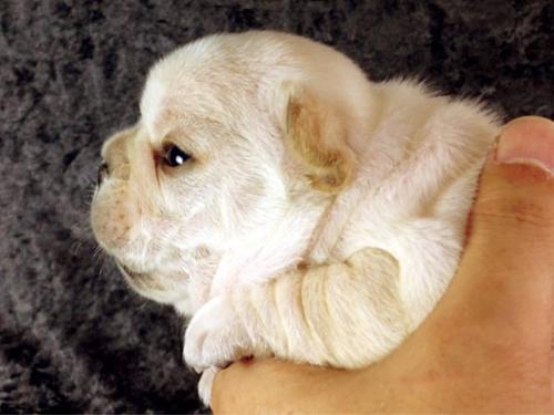 フレンチブルドッグの子犬(ID:1269011014)の3枚目の写真/更新日:2017-10-16