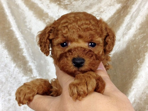 トイプードルの子犬(ID:1269011015)の1枚目の写真/更新日:2017-11-30