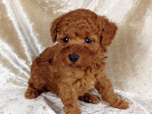 トイプードルの子犬(ID:1269011015)の2枚目の写真/更新日:2017-11-30