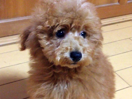 トイプードルの子犬(ID:1269211001)の1枚目の写真/更新日:2018-05-25