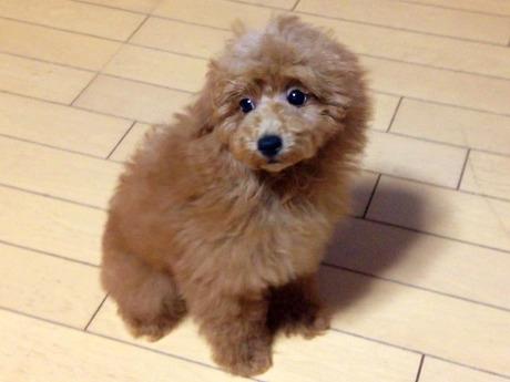 トイプードルの子犬(ID:1269211001)の2枚目の写真/更新日:2018-05-25