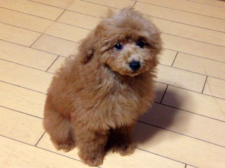 トイプードルの子犬(ID:1269211001)の3枚目の写真/更新日:2018-05-25