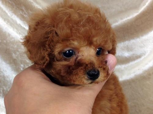 トイプードルの子犬(ID:1269211002)の1枚目の写真/更新日:2018-06-12