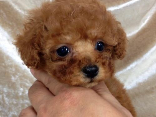 トイプードルの子犬(ID:1269211002)の2枚目の写真/更新日:2018-06-12