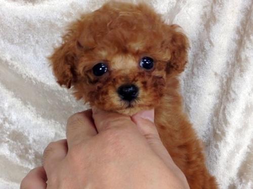 トイプードルの子犬(ID:1269211002)の3枚目の写真/更新日:2018-06-12