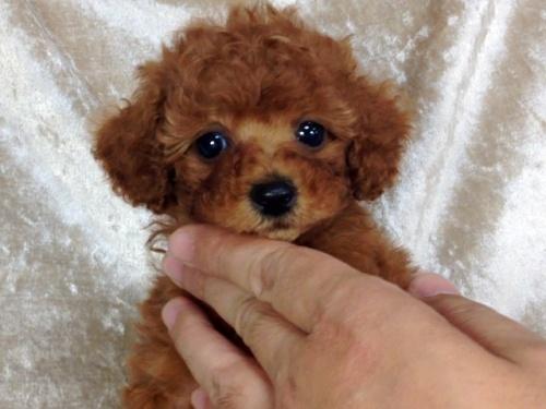 トイプードルの子犬(ID:1269211003)の1枚目の写真/更新日:2018-06-12
