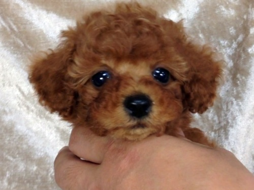 トイプードルの子犬(ID:1269211003)の2枚目の写真/更新日:2018-06-12