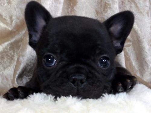 フレンチブルドッグの子犬(ID:1269211004)の1枚目の写真/更新日:2018-06-15