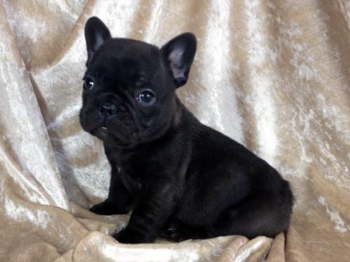 フレンチブルドッグの子犬(ID:1269211004)の2枚目の写真/更新日:2018-06-15
