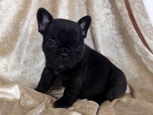 フレンチブルドッグの子犬(ID:1269211004)の3枚目の写真/更新日:2018-06-15
