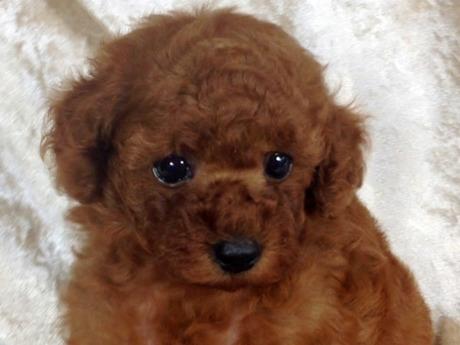 トイプードルの子犬(ID:1269211005)の1枚目の写真/更新日:2018-06-29