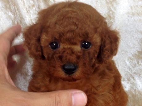 トイプードルの子犬(ID:1269211005)の2枚目の写真/更新日:2018-06-29